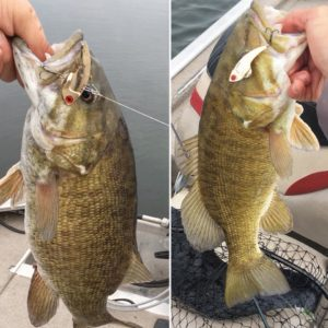 Binsky Gold catches to giant Smallmouth bass